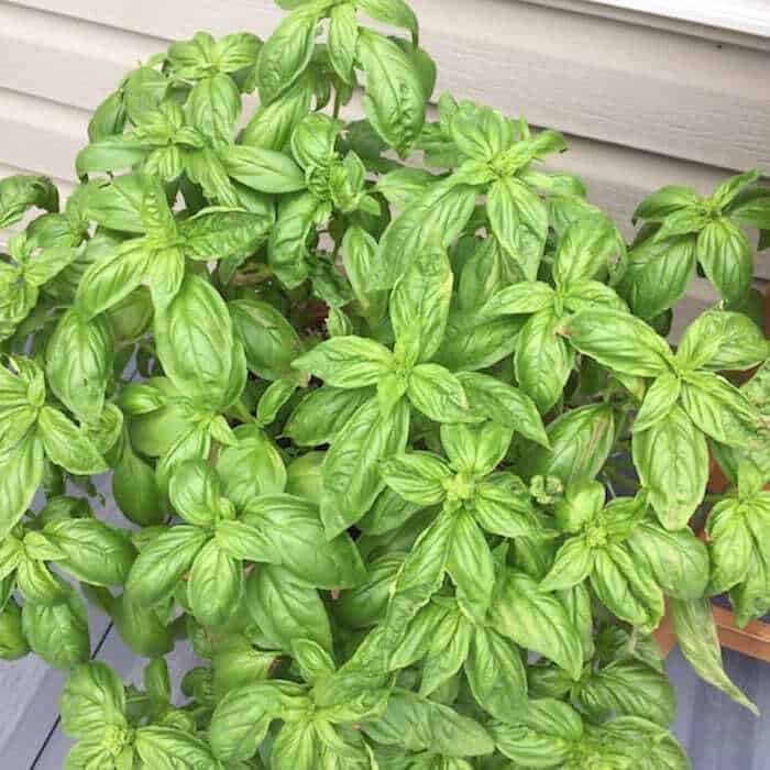Look at this beautiful, healthy basil.