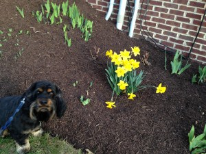 Our dog, Pepper, smells the flowers while spring is beginning anew.